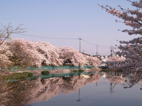 地蔵池の桜