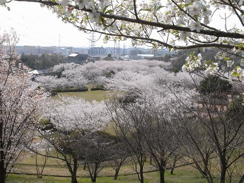 1大高緑地公園の桜