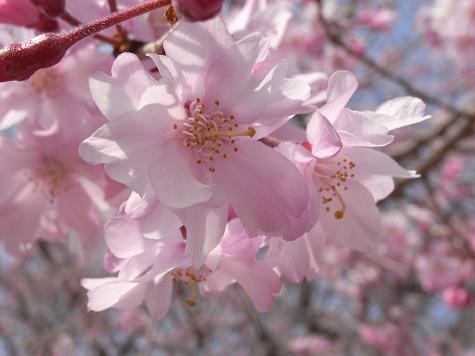 2大高緑地公園の桜