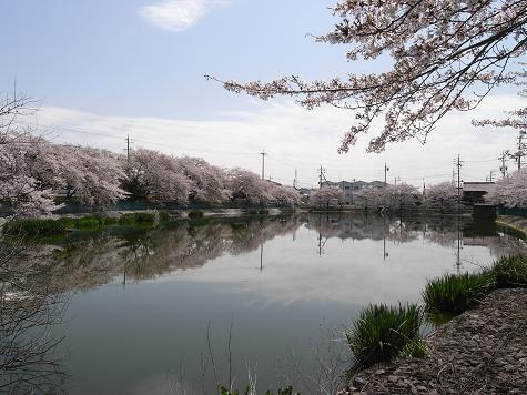 3地蔵池の桜