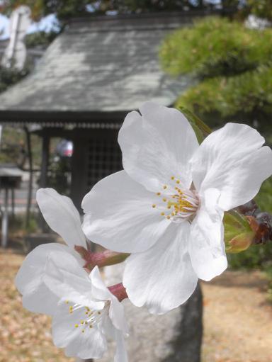 2地蔵池の桜