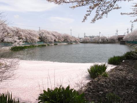 4地蔵池の桜