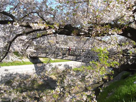 3山崎川の桜