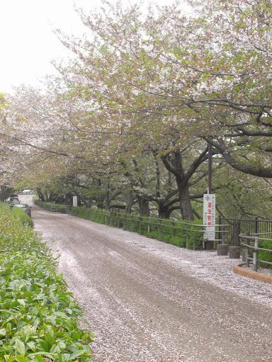 7山崎川の桜