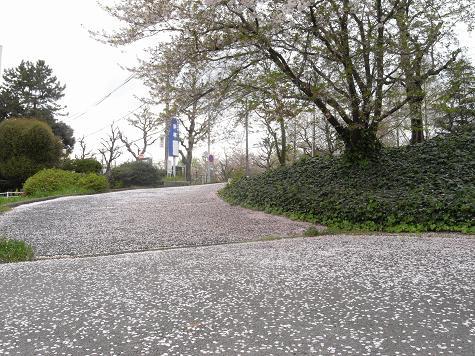 6山崎川の桜