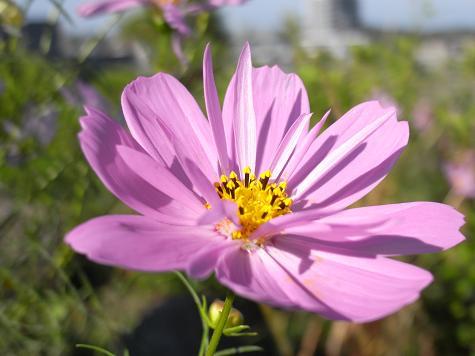 1八重咲きコスモス