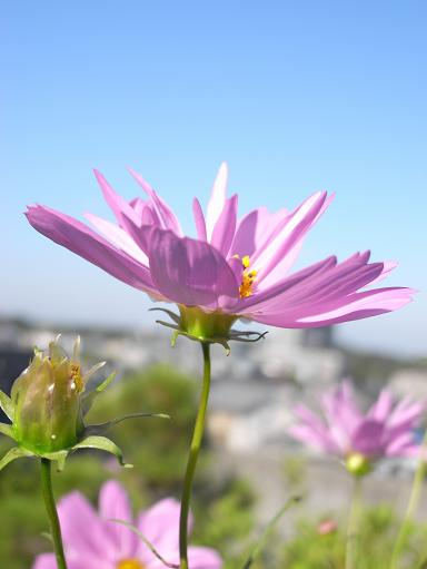 2八重咲きコスモス